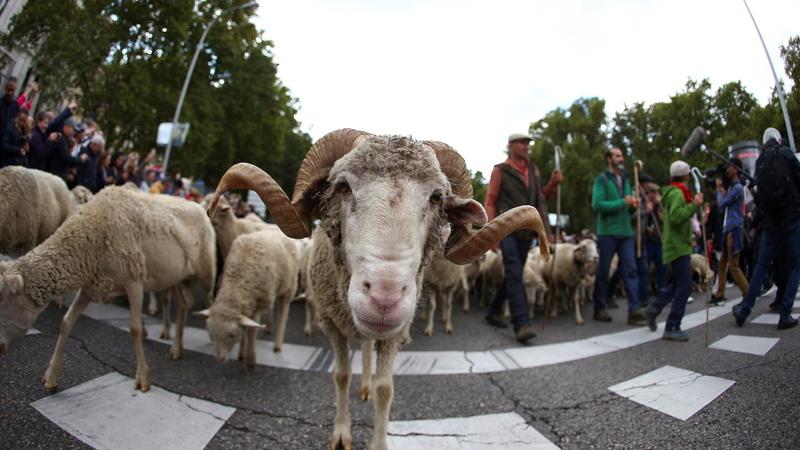 Um desfile lanzudo. Pastores levam 2 mil ovelhas para o centro de Madrid