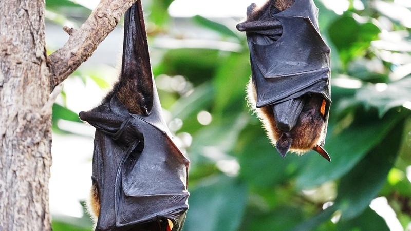 Morcegos podem controlar de forma eficaz pragas potencialmente mortais