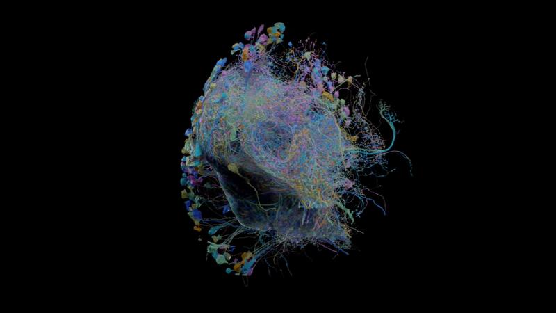 Google mostra aquele que pode ser o maior mapa 3D da atividade cerebral de uma mosca da fruta