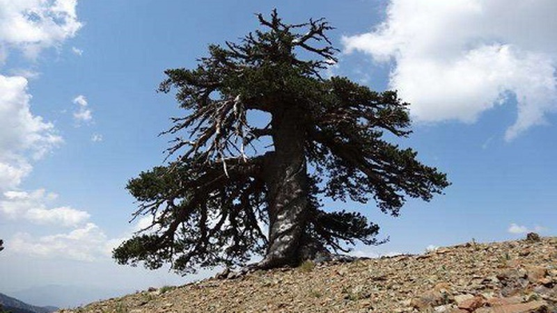 Adónis, a árvore mais antiga da Europa está viva há mais de mil anos