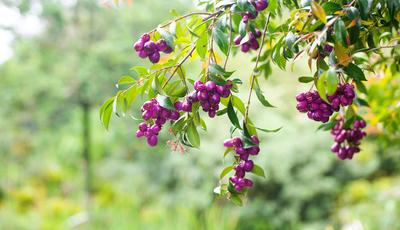 Do outro lado do mundo para o seu jardim. A planta florida que perfeita para as sebes