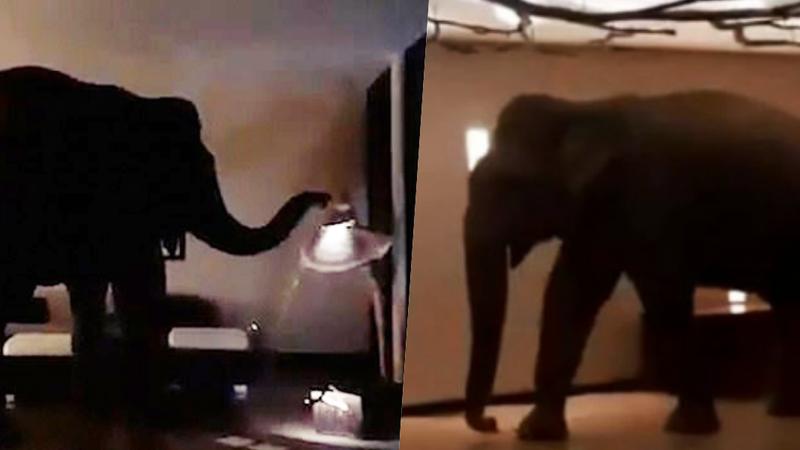 Elefante invade hotel e caminha calmamente pelos corredores. Vídeo torna-se viral