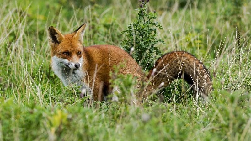 Batida à raposa em Quiaios. Nem os caçadores caçaram, nem os manifestantes protestaram